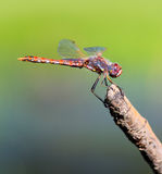 Red Dragonfly Resting on a Stick. A Red Meadowhawk Dragonfly on a stick with a blue and green blurred background royalty free stock photography