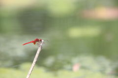 Red dragonfly. That is resting on a twig Royalty Free Stock Photography