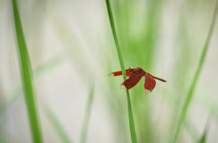 Red dragonfly. On rice plant In the rice fields Stock Image