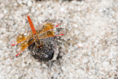 Red dragonfly on the rock Royalty Free Stock Images
