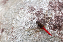 Red dragonfly on the rock. Stock Photo
