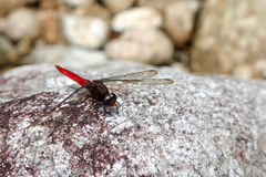 Red dragonfly on the rock. Stock Photography