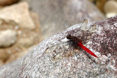 Red dragonfly on the rock. Red dragonfly on the rock in the garden Stock Image