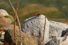 Red dragonfly on rock Royalty Free Stock Images