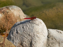 Red dragonfly on rock Stock Image