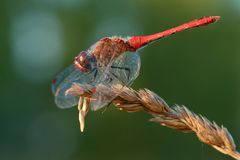 Red dragonfly sitting on dry grass. Eyes hide under the wings.