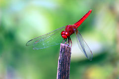 Red dragonfly. Scarlet dragonfly The adult male Scarlet Dragonfly has a bright red, widened abdomen, and small amber patches at the bases of the hindwings Stock Photos