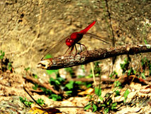 A red dragonfly. A shot of a red dragonfly which I took in the ancient temples of Angkor Wat in Cambodia Royalty Free Stock Image