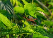 Red dragonfly show wings detail on a green leaf as natural background Royalty Free Stock Images