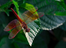 Red dragonfly show wings detail on a green leaf as natural background royalty free stock photography