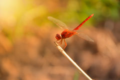 Red dragonfly sits on the grass on nature Royalty Free Stock Image