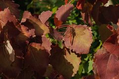 The red dragonfly sits on a reddish-brown leaf of aspen. The red dragonfly sits on a reddish-brown leaf of aspen on a background of green leaves Stock Image