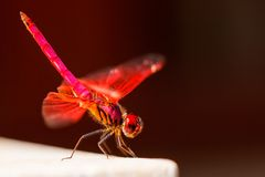 Red Dragonfly sits on a white stone Stock Image