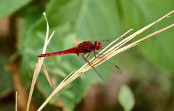 The Red Dragonfly is sitting on the dry grass stock photography