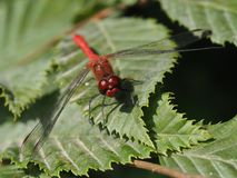 A red dragonfly, sitting on a leaf stock photo
