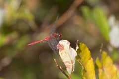 Red dragonfly sitting on a leaf Stock Photos
