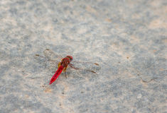 Red dragonfly. Royalty Free Stock Photo