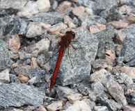 Red dragonfly. Sitting on a small rock Royalty Free Stock Photo