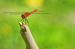 Red dragonfly sitting on a twig Stock Image