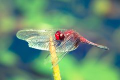 Red dragonfly with spread wings close up resting on a stick stock images
