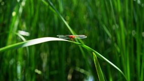 A red dragonfly is standing on a grass leaf royalty free stock photo