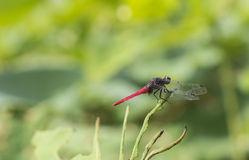 The red dragonfly. Stay on the lotus leaves a red dragonfly Stock Image