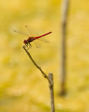 Red Dragonfly on stick Royalty Free Stock Image