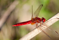 Red Dragonfly on stick Stock Image