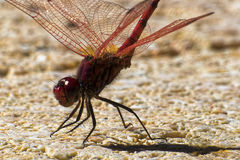 Red Dragonfly. On Stone Ground by the Pool in Tenerife Stock Photos