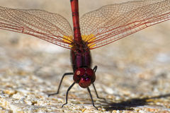 Red Dragonfly. On Stone Ground by the Pool in Tenerife Stock Photography
