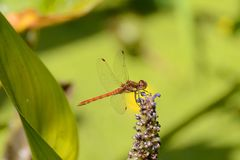 Red dragonfly Sympetrum fonscolombei male Stock Photos