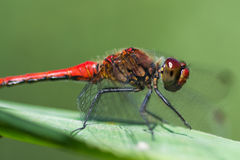 Red dragonfly / Sympetrum fonscolombii Royalty Free Stock Image