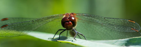 Red dragonfly / Sympetrum fonscolombii stock images
