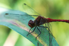 Red dragonfly / Sympetrum fonscolombii Royalty Free Stock Images
