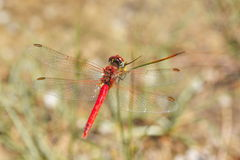 Red dragonfly sympetrum sanguineum Royalty Free Stock Image