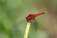 Red dragonfly on the tree branch Royalty Free Stock Photo