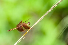 Red dragonfly on a tree branch Stock Photo