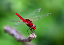 Red Dragonfly. Bright Red veined darter Dragonfly sitting on a branch. Clean Green background Stock Photography