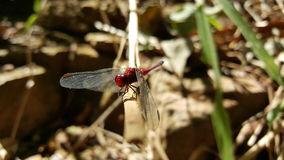 Red Dragonfly. A red Dragonfly in wather Royalty Free Stock Image