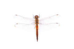 Red dragonfly on a white background. stock photos