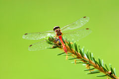 Red dragonfly with wings spread, naturally. Stock Photo