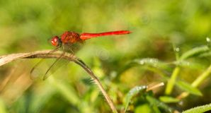 A red dragonfly on withered grass royalty free stock image