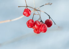 Red dried berries on branch. Stock Image