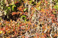 Red and dried leaves of bush in forest in autumn Royalty Free Stock Photo