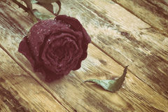Red dried rose in water drops Royalty Free Stock Photo