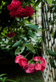 Red drooping flowers. In a garden Royalty Free Stock Photo