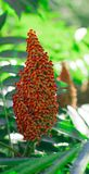 Staghorn Sumac Rhus typhina Red drupe, blossom in late summer. Red drupe, blossom in late summer Staghorn Sumac Rhus typhina Stock Photography