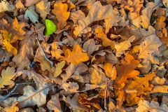 Red dry autumn leaves background. Closeup red dry autumn leaves background Stock Photos