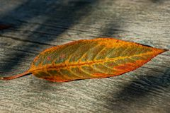 Red dry fallen leaf on a gray wooden board stock image