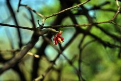 Red dry flower left on branches without leaves, blurry green background. Red dry flower left on branches without leaves, blurry blue green background royalty free stock photo